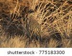 roadrunner bosque del apache...   Shutterstock . vector #775183300