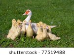 Small Ducklings In Group With...