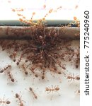 Small photo of red ant are eating Insect