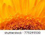 yellow beautiful flower gerbera ... | Shutterstock . vector #775295530
