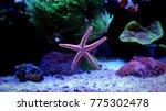 amazing fromia elegans starfish | Shutterstock . vector #775302478