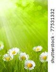 Spring field - daisy in grass - stock photo