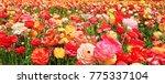 colorful flowers field... | Shutterstock . vector #775337104