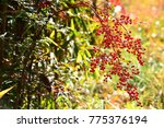 red berries of nandina tree in... | Shutterstock . vector #775376194