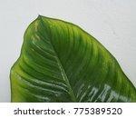 calathea ornata  pin stripe... | Shutterstock . vector #775389520