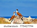 blue footed booby  sula... | Shutterstock . vector #775427794