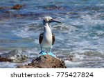 blue footed booby  sula... | Shutterstock . vector #775427824