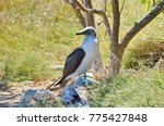 blue footed booby  sula... | Shutterstock . vector #775427848