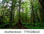 great bear rainforest of bella... | Shutterstock . vector #775428610