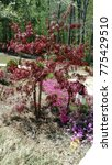 Small photo of Acer palmatum var. dissectum 'Inaba-shidare'
