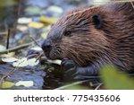 North American Beaver  Castor...