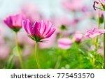 cosmos pink flowers booming in... | Shutterstock . vector #775453570