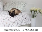 my cozy home bobtail cat | Shutterstock . vector #775465150