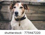 beautiful jack russell terrier... | Shutterstock . vector #775467220