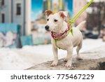beautiful jack russell terrier...   Shutterstock . vector #775467229