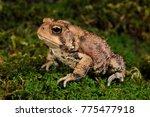 Small photo of American Toad (Bufo americanus), NJ