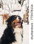 happy bernese mountain dog... | Shutterstock . vector #775478116