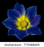 bright blue flower of a dahlia... | Shutterstock . vector #775488604