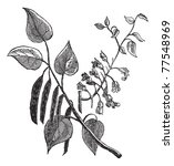 Cercis Canadensis Or Eastern...