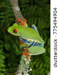 Small photo of Red-eyed Tree Frog (Agalychnis callidryas), Costa Rica