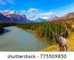 magnificent deer on the bank of ... | Shutterstock . vector #775509850