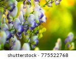 Small photo of Flowers flower of an Akonite ( Aconitum variegatum )