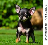 Stock photo chihuahua puppy in the summer garden 775525078