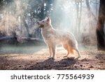 White Swiss Shepherds In The...