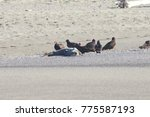 turkey vultures and dead seal... | Shutterstock . vector #775587193
