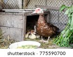 Muscovy Duck Mother With...
