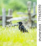 Small photo of American Crow in high mountain meadow