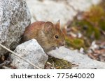 Small photo of Northern Red-backed Vole Myodes rutilus in Whitehorse, Yukon, Canada