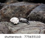 Mother And Pup Harbor Seals...