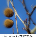 Small photo of Abstract focal zoom photo of a sycamore tree bud with a blue sky background; Tonto National Forest in Arizona