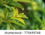 focused at water drop on leaf... | Shutterstock . vector #775690768