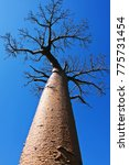 baobab tree trunk and branches... | Shutterstock . vector #775731454