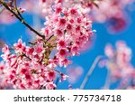 cherry blossom blooming on the ... | Shutterstock . vector #775734718