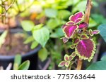 Coleus With Green Leaf In The...