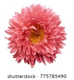 pink flower aster on a white... | Shutterstock . vector #775785490