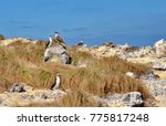 blue footed booby  isla isabel  ... | Shutterstock . vector #775817248