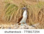 blue footed booby  isla isabel  ... | Shutterstock . vector #775817254