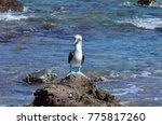 blue footed booby  isla isabel  ... | Shutterstock . vector #775817260