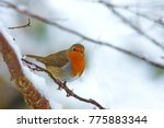 british robin  erithacus... | Shutterstock . vector #775883344