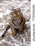 Adorable Amur Tiger Cub Lookin...