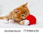 Stock photo small red kitten is played with a ball of yarn 775984150