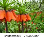 blooming crown imperial in... | Shutterstock . vector #776000854