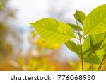 young spring green leaves close ... | Shutterstock . vector #776068930