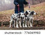 Stock photo dog walkers with dalmatian dogs enjoying in park 776069983