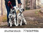 Stock photo dog walkers with dalmatian dogs enjoying in park 776069986
