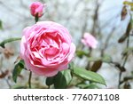 beautiful blooming rose | Shutterstock . vector #776071108